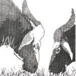 Cow Optical Illusion